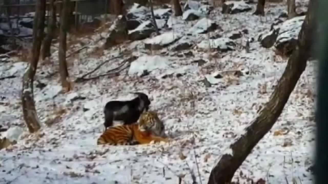 Ziege partnerschaft tiger Ende einer